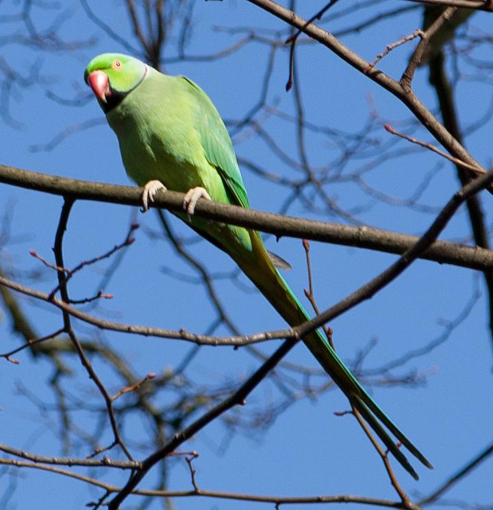 rose-ringed parakeet, hampstead heath