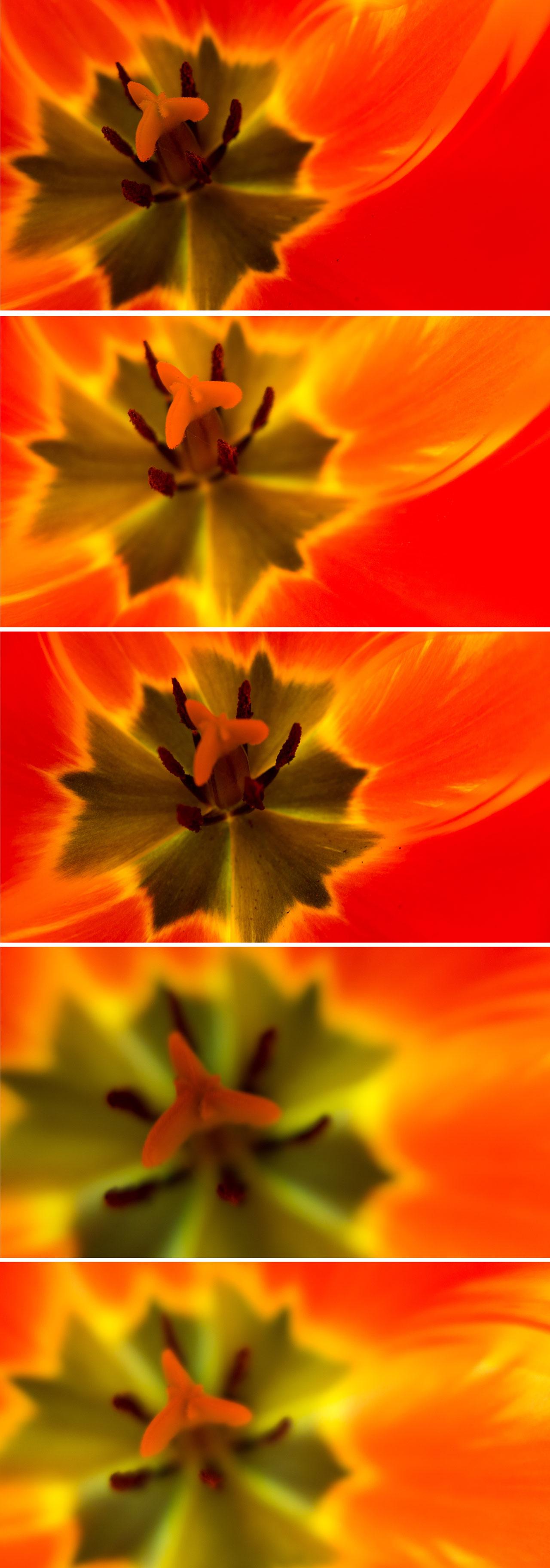 five-tulips
